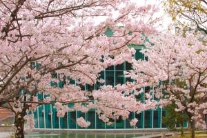 図書館と桜